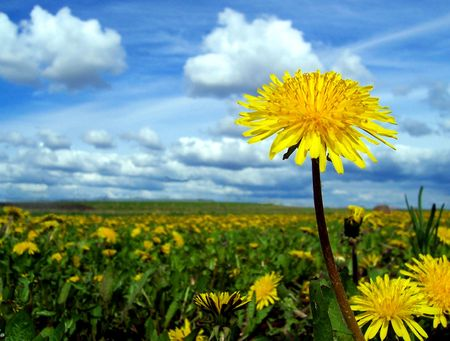 taller: A cheery field of dandelions reveals one lone dandelion that is unique and taller than the rest. Stock Photo