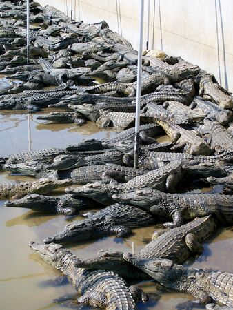 bask: Hundreds of crocodiles bask together in the sun.