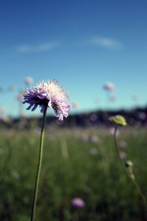 A meadow is filled with purple wildflowers, and one is shot close-up, in the foreground. Foto de archivo