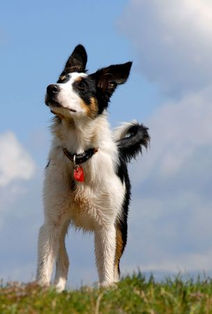 A border collie stands nobly on the top of a hill. photo