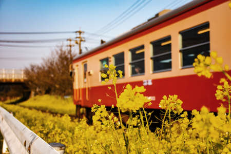 Rape blossoms and trains
