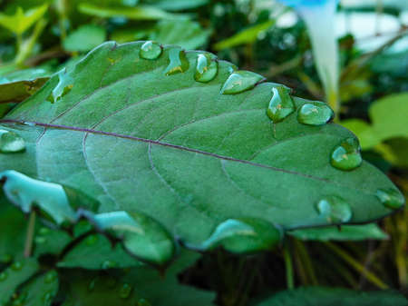 Water droplets attached to the leaf
