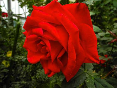 大きな赤いバラ 写真素材 - 93264896