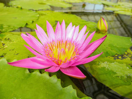 Big lotus flower stock photo picture and royalty free image image big lotus flower stock photo 93264897 mightylinksfo