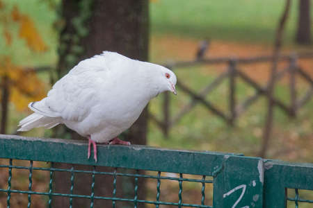 The view of a white dove sitting on a fence and tilting his head.