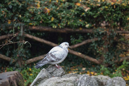 The view of a white and grey feathered pigeon sitting on a rock.
