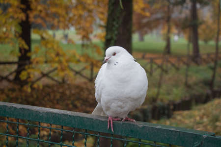 The view of a white dove sitting on a fence. Stock Photo