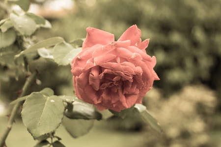 crimson colour: The view of rose garden plants. Aged filter.