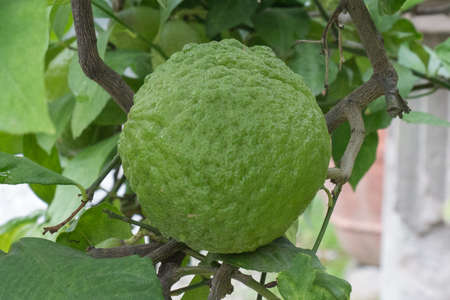 The close up view of a green deformed lemon fruit.