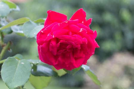 button: The view of crimson rose. Garden plants.