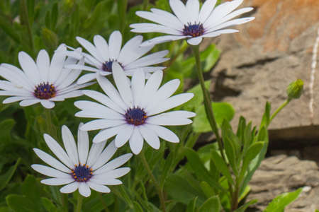 The detailed view of african daisies in garden at springtime.