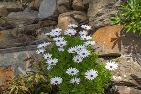 The view of african daisies in garden at springtime. 写真素材