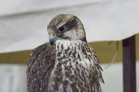 The detailed view of a hawk head.
