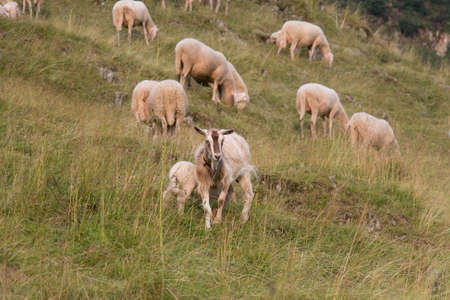 The view of a goat and sheeps grazing on The Italian Alps, Lombardy, Italy.