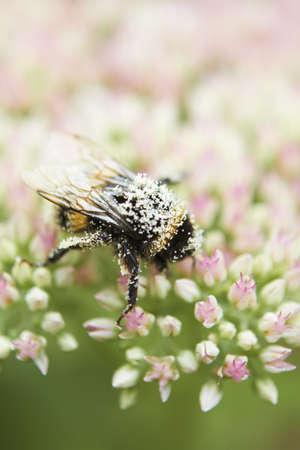 bee pollen: Pollen Covered Bee On Sedum Flower