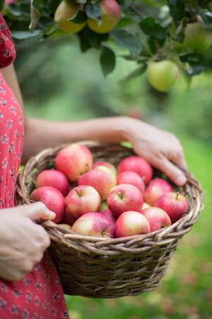 manzana: Cerca de la mujer en jard�n con cesta de manzanas Foto de archivo