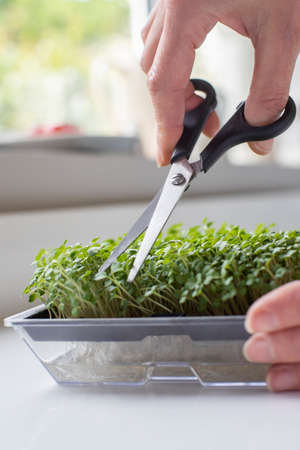 Close Up Of Woman Cutting Micro Greens Crop Of Rocket Growing At Home Stockfoto