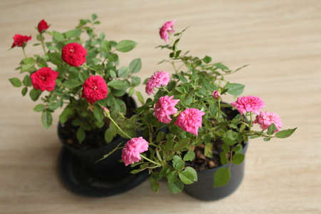 Small, red and pink roses are in   black pots,Photography in Thailand