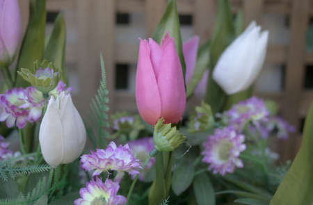 purple tulip in front of wooden fence Stock Photo