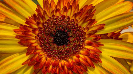 close up of beautiful sunflower