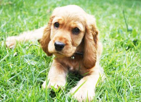 spaniel: English cocker spaniel puppy