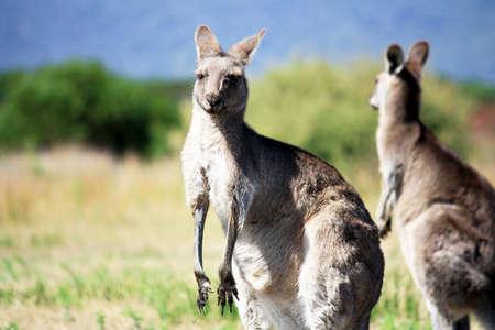 wilsons promontory: Wild Kangaroo Australia  Stock Photo