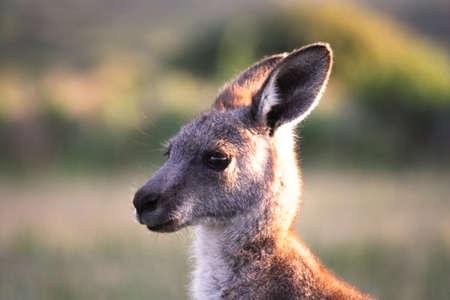 wilsons promontory: Kangaroo in Australia  Sunset