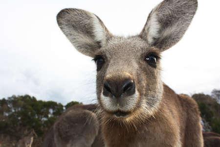 wilsons promontory: Friendly Kangaroo Says Hello Stock Photo