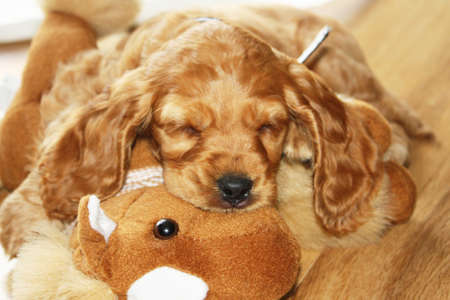 Spaniel Puppy sleeping together with his toy photo