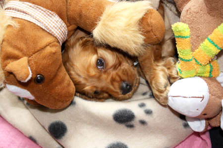 Little Cocker Spaniel Puppy Resting On The Blanket With His Toys  photo