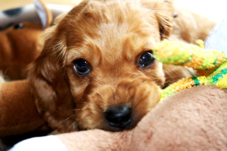 Little Cocker Spaniel Puppy Is Adorable and Cheeky  photo