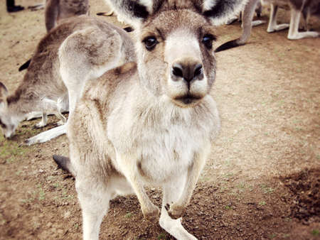 Curious Kangaroo in Australia                    photo
