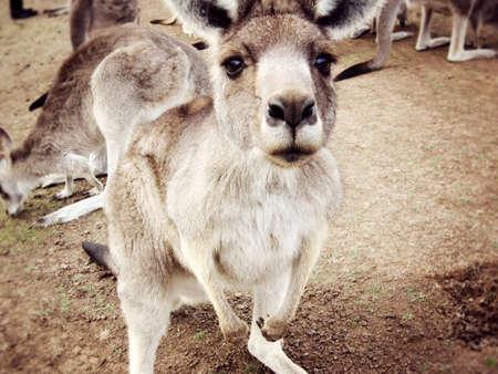 wilsons promontory: Curious Kangaroo in Australia                    Stock Photo