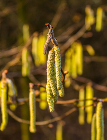 Catkins in the light