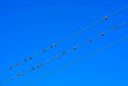 Swallow on electric wires in the sky photo