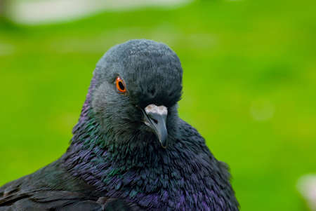 pigeon, watching the shot on a green background Stock Photo