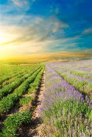 lavender fields: Vertical picture is split lavender fields at sunset