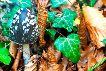 toadstool in autumn forest on a background of leaves photo