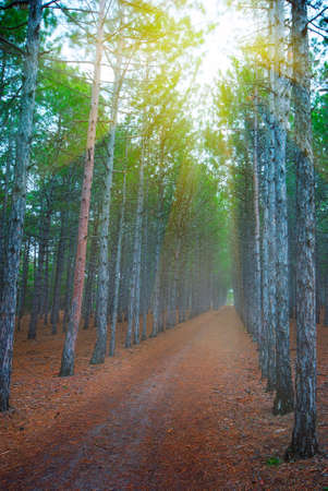 Forest trail in the fog and sun rays