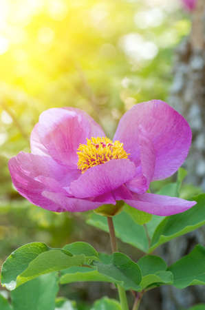 Peony (Paeonia wittmanniana). Forest pion and sunrays photo