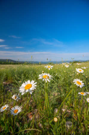 Field of daisies and blue sky. Natural composition photo