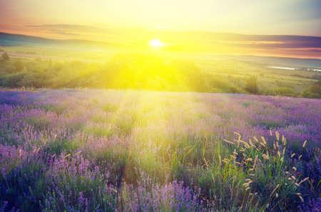 Lavendel veld in de vroege ochtend zon op een achtergrond met stralen van de rijzende zon. Vintagel samenstelling