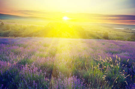 Lavender field in the early morning sun on a background with rays of the rising sun. Vintagel composition Stock Photo