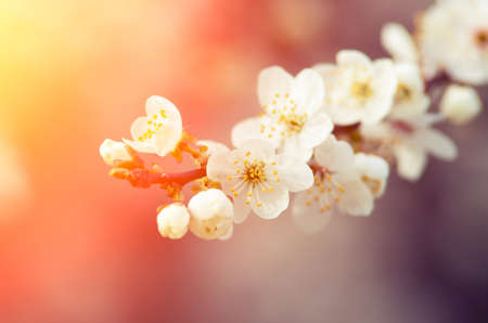 Spring blossom vintage background. Beautiful nature scene with blooming tree and sun rays. Sunny warm day. Spring beautiful flowers. Beautiful Orchard. Abstract blurred background. Joyful spring day