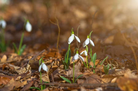 Snowdrops in the forest on a sunny spring evening. Natural flower composition