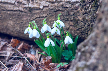 "Snowdrops in the forest ""hid"" at the roots of a tree. Natural flower composition"