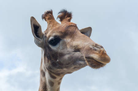 The head of a giraffe against the blue sky. Natural animal composition