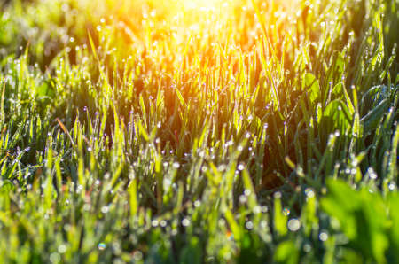 Grass with dew drops glistens in the sun. Natural composition