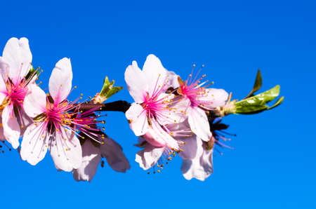Sprig with cherry flowers on a background of blue sky in spring sunny day. Natural composition