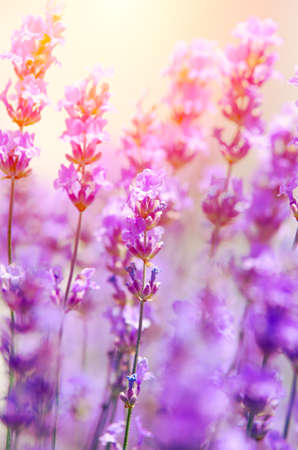 Lavender flowers on the field during flowering. Natural flower composition